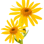 arnica oil massage
